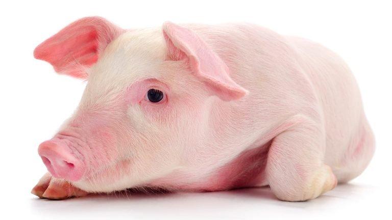 cerdos-2