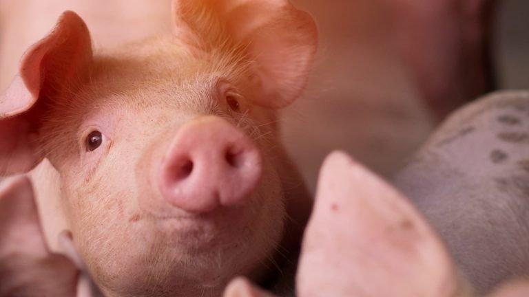 cerdos-3