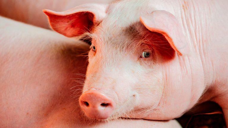 cerdos-4